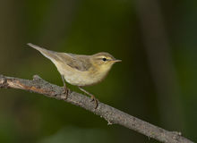 Willow warbler (Phylloscopus trochilus) Stock Photography