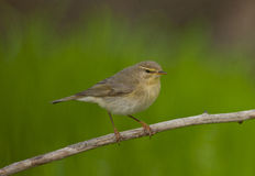 Willow warbler (Phylloscopus trochilus) Royalty Free Stock Images