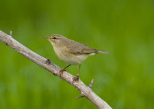 Willow warbler (Phylloscopus trochilus) Royalty Free Stock Photography