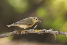 Willow warbler (Phylloscopus trochilus) Royalty Free Stock Photos