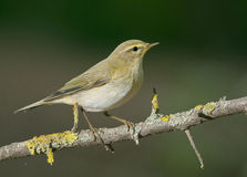 Willow warbler (Phylloscopus trochilus) Royalty Free Stock Image