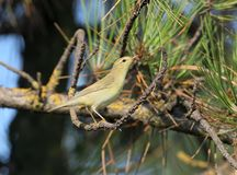 The willow warbler Phylloscopus trochilus close up. Portrait Royalty Free Stock Images