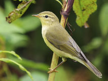 Willow warbler - Phylloscopus trochilus. 1cy bird Stock Image