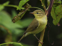 Willow warbler - Phylloscopus trochilus. 1cy bird Royalty Free Stock Photography