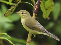 Willow warbler - Phylloscopus trochilus. 1cy bird Royalty Free Stock Images