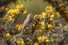 Willow warbler (Phylloscopus trochilus) on gorse Stock Photography