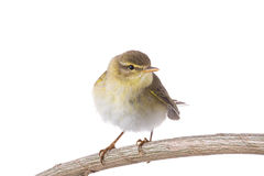Willow Warbler Phylloscopus trochilus Stock Image