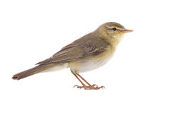 Willow Warbler Phylloscopus trochilus. Isolated on a white background Royalty Free Stock Image