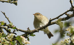 A Willow Warbler Phylloscopus trochilus perched in a tree. A pretty Willow Warbler Phylloscopus trochilus perched in a tree Royalty Free Stock Photo