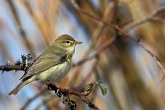 Willow Warbler (Phylloscopus trochilus) Royalty Free Stock Photo