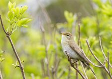 A willow warbler Phylloscopus trochilus showing its territory by singing loud on a branch. In a bright green background with lea