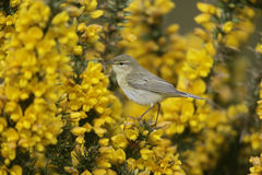 Willow warbler, Phylloscopus trochilus Royalty Free Stock Images