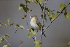 Willow warbler, Phylloscopus trochilus Stock Photos