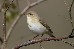 Willow warbler, Phylloscopus trochilus Royalty Free Stock Image