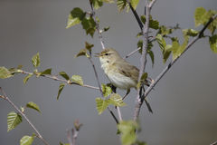 Willow warbler, Phylloscopus trochilus Royalty Free Stock Photos
