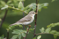 Willow warbler, Phylloscopus trochilus Stock Image