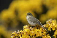 Willow warbler, Phylloscopus trochilus. Single bird on gorse, Devon, UK Royalty Free Stock Photo