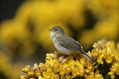 Willow warbler, Phylloscopus trochilus Stock Photography