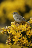 Willow warbler, Phylloscopus trochilus. Single bird on gorse, Devon, UK Stock Image