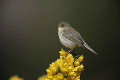 Willow warbler, Phylloscopus trochilus Stock Photos