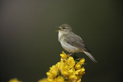 Willow warbler, Phylloscopus trochilus Royalty Free Stock Photography