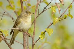 Willow Warbler (Phylloscopus trochilus) Stock Images