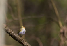 Willow warbler Phylloscopus trochilus in spring Stock Photo