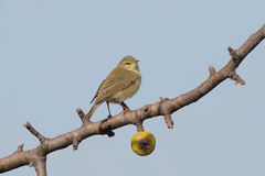 Willow warbler (phylloscopus trochilus). Stock Photo