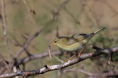 Willow warbler (phylloscopus trochilus). Stock Image