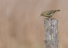 Willow warbler - Phylloscopus trochilus. At wild meadow on early spring time Stock Photo