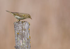 Willow warbler - Phylloscopus trochilus. At wild meadow on early spring time Stock Image