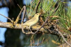 The willow warbler Phylloscopus trochilus. Sits on a branch in bright sun light. Close up and detailed photo Royalty Free Stock Images