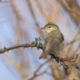 Willow Warbler (Phylloscopus trocilus). A Willow Warbler (Philloscopus trochilus) perching openly on a tree branch Royalty Free Stock Image