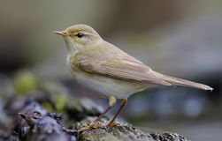 Willow warbler standing near a waterpond in spring plumage royalty free stock images