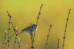 Willow warbler singing Stock Photography