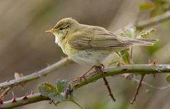 Willow Warbler. Sitting on a branch Royalty Free Stock Photography