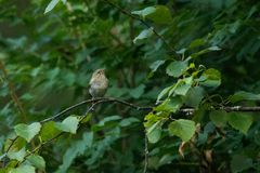 Warbler in green forest stock image