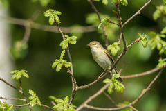 Willow Warbler stående Royaltyfri Foto