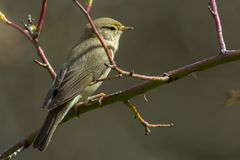 Willow warbler on a branch in the forest royalty free stock photos
