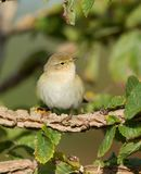 Willow Warbler Stock Photography