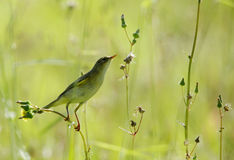 Willow warbler Royalty Free Stock Images