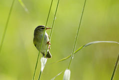Willow warbler Stock Images