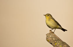 Willow Warbler on a Wood Looking Left Stock Photo