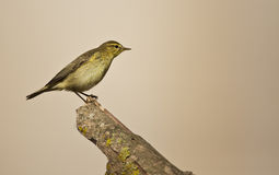 Willow Warbler on a Wood Looking Right Stock Photography