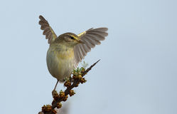 Willow Warbler Royalty Free Stock Image