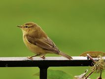 Willow warbler royalty free stock photos