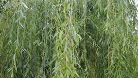Willow. The willow was taken in a small Bulgarian farm stock footage