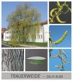 Willow, weeping willow, dotterweide, salix, alba, vitellina, tristis royalty free stock image