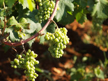 Willow with white grapes Stock Images
