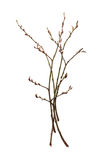 Willow, willow branch on a white background isolated Stock Photography